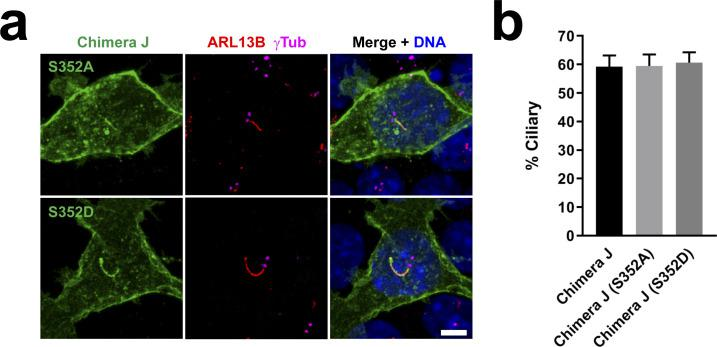 CDK5 phosphorylation of Ser-352 in HTR6-CT does not affect HTR6 ciliary targeting. (A) IMCD3 cells expressing C-terminally EGFP-tagged Chimera J with the S352A or S352D mutations were analyzed by immunofluorescence with antibodies against EGFP (green), ARL13B (red) and γ-tubulin (γTub, magenta). DNA was stained with DAPI. Arrows indicate cilia. Scale bar, 5 μm. Serine-352 is the mouse HTR6 equivalent of human HTR6 Serine-350, shown to be a target of CDK5 phosphorylation ( 17 ). S352A and S352D are non-phosphorylatable and phosphomimetic S352 mutants, respectively. (A, B) Quantification of ciliary localization from (A). Data are mean ± SEM of n = 3 independent experiments per construct, in each of which at least 50 transfected-cell cilia were counted for each G protein-coupled receptor. No significant differences were found by one-way ANOVA.