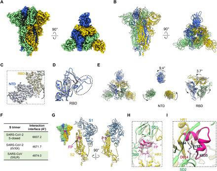 A tightly closed conformation of SARS-CoV-2 S trimer. ( A and B ) Cryo-EM map and model of SARS-CoV-2 S trimer in a tightly closed state, with three protomers shown in different color. ( C ) Close-up view of the model map fitting in the NTD and RBD regions of the S1 subunit, illustrating that most of the NTD region was well resolved. ( D ) Overlaid RBD structures of our S-closed (blue) with a cryo-EM structure of SARS-CoV-2 S in closed state (6VXX, gray), illustrating that the RBM S469-C488 loop was captured in our structure (indicated by dotted ellipsoid). ( E ) Top view of the overlaid structures as in (D) (left) and zoom-in views of specific domains, showing that there is a marked counterclockwise rotation in S1 especially in NTD, resulting in a twisted, tightly closed conformation. ( F ) Protomer interaction interface analysis by PISA. ( G ) Location of the captured FP fragment (in deep pink) within the S trimer (left) and one protomer. S1 and S2 subunits are colored steel blue and gold, respectively. ( H ) Model map fitting for the FP fragment. ( I ) Close-up view of the interactions between D614 from SD2 and FP, with the hydrogen bonds labeled in dotted lines and the L828-F855 region in FP in deep pink.