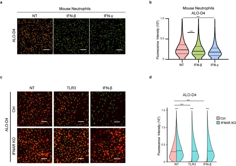 IFN signals decrease plasma membrane binding to ALO-D4 protein. a, Confocal images of neutrophils stimulated with IFN-β or IFN-γ (20 ng/mL) for 6 h, and then stained with fluorescent ALO-D4 and DAPI. b, Violin plots of cellular fluorescent intensity quantified from a (n = 20334, 18546, 16290). c, Confocal images of WT or type I interferon receptor–deficient (IFNAR KO) BMDMs stimulated with TLR3 agonist (1 μg/mL) or IFN-β (20 ng/mL) for 24 h, and then stained with fluorescent ALO-D4 and DAPI. d, Violin plots of cellular fluorescent intensity quantified from c (n = 5543, 6682, 4673, 8231, 5201, 7906). Data are representatives of three independent experiments. Violin plots are shown with median (solid lines in b, d) and 25% and 75% percentiles (dashed lines in b), and statistical significance was determined using a Kruskal-Wallis test with Dunn's correction. ***P