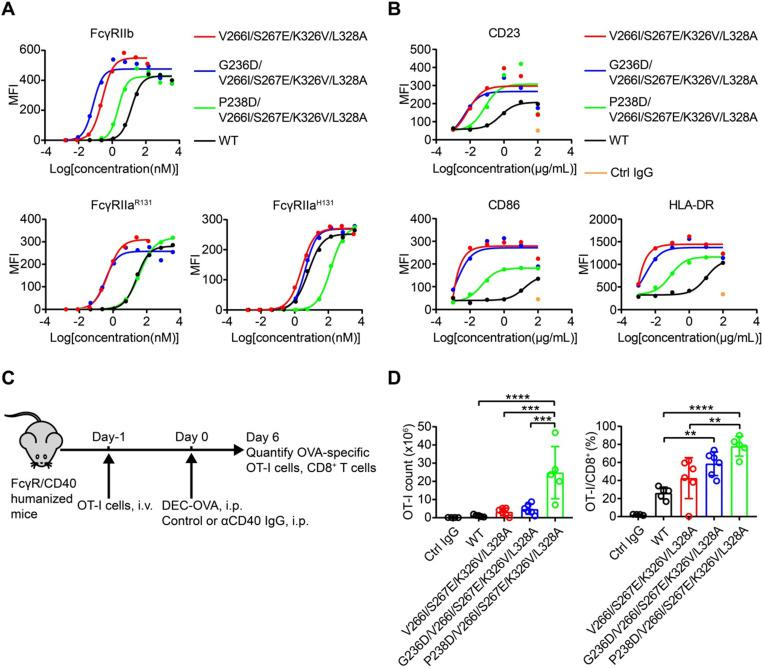 Engineered CD40 agonist antibodies displayed divergent FcγRIIa and FcγRIIb-dependent agonistic activity. (A) Different concentrations of CD40 agonist antibody variants were added to CD40 reporter cells in the presence of human FcγRIIb, FcγRIIa R131 or FcγRIIa H131 -expressing HEK293T cells, the activation of CD40 after 24 h stimulation was indicated by the expression of GFP of the reporter cell and analyzed by flow cytometry. (B) B cells were stimulated by different concentrations of NK003 variants and the upregulation of CD23, CD86 or HLA-DR was analyzed by flow cytometry. MFI: Mean Fluorescence Intensity. (C) Schematic of OVA-specific CD8 + T cell response model. FcγR/CD40-humanized mice were adoptively transferred with OT-I cells, and then immunized with DEC-OVA in the presence of CD40 antibody variants, expansion of OT-I cells was analyzed by flow cytometry. (D) Quantification of OT-I cells (left) and the percentage of OT-I cells among CD8 + T cells (right) as in OVA-specific CD8 + T cell response model. Each circle represents an individual mouse. Bars represent the mean ± SEM. ** p ≤0.01, *** p ≤0.001, **** p ≤0.0001; One-way ANOVA Tukey's multiple comparisons test was used.