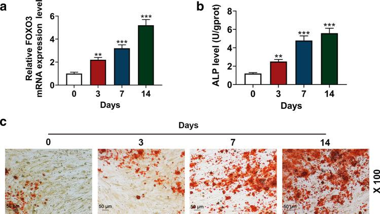 FOXO3 expression and ALP level were increased during osteogenic differentiation. a Relative FOXO3 expressions in BM-MSCs on days 0, 3, 7, and 14 days after osteogenic differentiation were measured with quantitative real-time polymerase chain reaction (qRT-PCR). GAPDH was an internal control. b ALP levels in BM-MSCs on days 0, 3, 7, and 14 days after the osteogenic differentiation were quantified with enzyme-linked immunosorbent assay (ELISA). c BM-MSC osteogenic differentiation on days 0, 3, 7, and 14 was assessed with Alizarin Red Staining, under 100 × magnification. All the experiments have been performed in independent triplicate and experimental data were expressed as mean ± standard deviation (SD). ** P