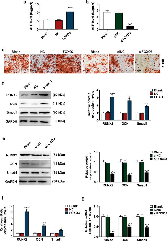 Effects of FOXO3 on BM-MSC osteogenic differentiation factors were detected. a, b ALP levels in BM-MSCs after up-regulating or down-regulating FOXO3 were quantified with ELISA. c Effects of up-regulating or down-regulating FOXO3 on BM-MSC osteogenic differentiation were detected with Alizarin Red Staining, under 100 × magnification. d–g Relative protein and mRNA expressions of factors related to osteogenic differentiation (RUNX2; OCN; Smad4) were measured with Western blot and qRT-PCR. GAPDH was an internal control. All the experiments have been performed in independent triplicate and the experimental data were expressed as mean ± standard deviation (SD). ++ P