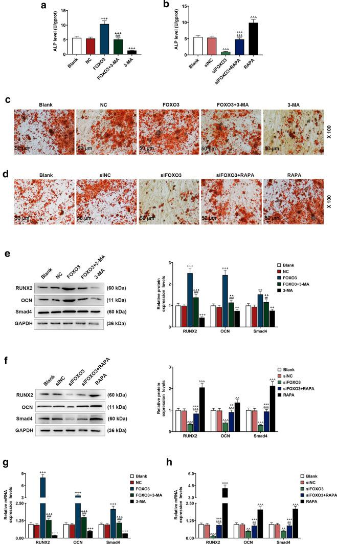 Effects of FOXO3 on BM-MSCs osteogenic differentiation via enhancing autophagy-related genes expressions were detected. a, b ALP levels in BM-MSCs after overexpressed FOXO3 and 3-MA treatment or siFOXO3 and RAPA treatment were quantified with ELISA. c, d Effects of overexpressed FOXO3 and 3-MA treatment or siFOXO3 and RAPA treatment on BM-MSCs osteogenic differentiation were detected with Alizarin Red Staining, under 100 × magnification. e, h Relative protein and mRNA expressions of factors related to osteogenic differentiation (RUNX2; OCN; Smad4) after overexpressing FOXO3 or siFOXO3 and 3-MA or RAPA treatment were measured with Western blot and qRT-PCR. GAPDH was an internal control. All experiments have been performed in triplicate and experimental data were expressed as mean ± standard deviation (SD). ++ P