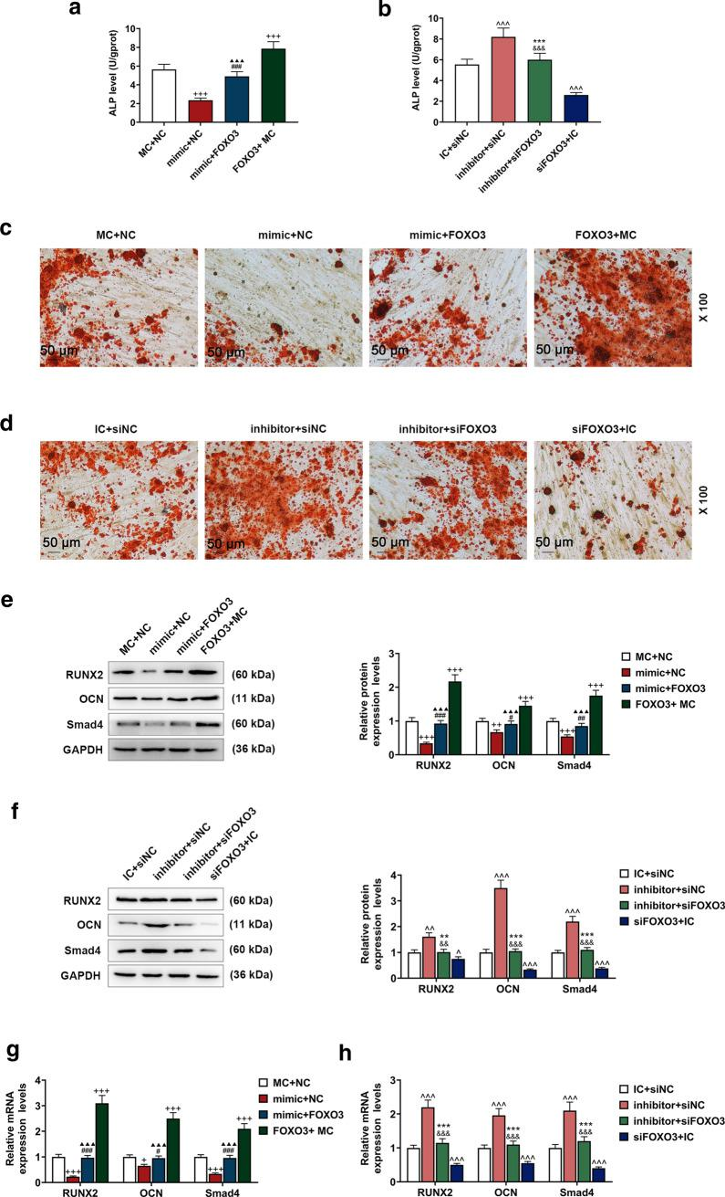 FOXO3 reversed the effects of miR-223-3p on BM-MSC osteogenic differentiation. a, b ALP levels in BM-MSCs after overexpressed FOXO3 or siFOXO3 and up-regulated or down-regulated miR-223-3p were quantified with ELISA. c, d Effects of overexpressed FOXO3 or siFOXO3 and up-regulated or down-regulated miR-223-3p on BM-MSC osteogenic differentiation were detected with Alizarin Red Staining, under 100 × magnification. e–h Relative protein and mRNA expressions of factors related to osteogenic differentiation (RUNX2; OCN; Smad4) after overexpressed FOXO3 or siFOXO3 and up-regulated or down-regulated miR-223-3p were measured with Western blot and qRT-PCR. GAPDH was an internal control. All experiments have been performed in triplicate and experimental data were expressed as mean ± standard deviation (SD). + P