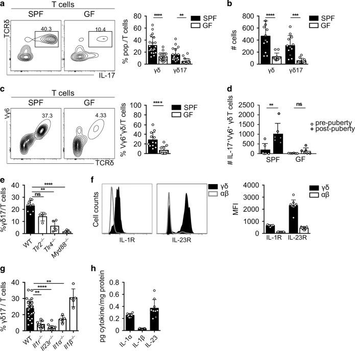 Accumulation of γδ T cells in the testis is dependent on microbiota, IL-23 and TLR4 signalling. a Representative contour plots depicting IL-17-producing γδ T cells gated on CD3 + CD45 + cells in testes of specific pathogen-free (SPF) (left) and germ-free (GF) (right) mice. Scatter plot shows frequencies of γδ and γδ17 T cells among lymphocytes in testes of SPF (black) and GF (white) mice ( n = 18–22, five independent experiments). b Number of testicular γδ and γδ17 cells of SPF (black) and GF (white) mice ( n = 11–12, three independent experiments). c Representative contour plots depicting testicular Vγ6 + γδ T cells gated on CD3 + CD45 + cells of SPF and GF mice. Scatter plot displays frequencies of Vγ6 + γδ T cells among all T cells in testes of SPF (black) and GF (white) mice ( n = 11–14, four independent experiments). d Number of Vγ6 + γδ T cells from SPF and GF in pre- and post-pubertal mice ( n = 6, two independent experiments) ( n = 7–8, three independent experiments). e Scatter plot shows frequencies of γδ17 T cells among lymphocytes of WT (black), Tlr2 −/− , Tlr4 −/− and Myd88 −/− (white) mice ( n = 4–9, one to two independent experiments). f Representative histogram of γδ (dark grey) and αβ (white) T cells expressing IL-1 receptor (R) in WT mice (left) and IL-23R in Il23r gfp/gfp mice (right) and scatter plot with mean fluorescence intensity (MFI) ( n = 5–10, one to three independent experiments). g Scatter plot depicts frequencies of γδ17 among all T cells in testes of WT (black), Il1r −/− , Il23r −/− , Il1α −/− and Il1β − /− (white) ( n = 5–29, one to three independent experiments). h Scatter plot displays picogram (pg) per mg protein of IL-1α, IL-1β and IL-23 in the testis ( n = 9, two independent experiments). Data are represented as mean ± SD as evaluated by Kruskal–Wallis test followed by Dunn's multiple-comparison test or one-way ANOVA followed by Holm–Sidak's multiple-comparison test. ** P