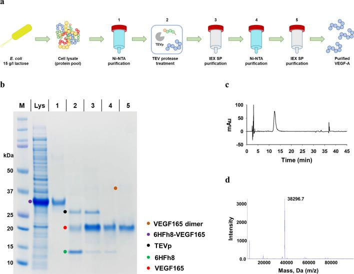 Purification and analysis of VEGF165. a The overall purification steps. b SDS-PAGE analysis of samples from each purification step. c C18 RP-HPLC trace. d LC–MS (Q-TOF) analysis. M: marker; Lys: supernatant after sonication; 1: HisTrap purification; 2: after TEV protease treatment (the band at 28 kDa is TEVp); 3: HiTrap SP purification; 4: HisTrap purification; 5: HiTrap SP purification (final product). The data are representative of three replicated experiments