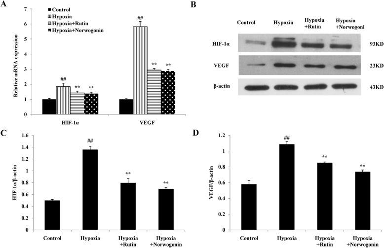 Norwogonin down-regulated the expression of HIF-1 α and VEGF in PC12 cells following hypoxia exposure. Cells were incubated with norwogonin for 1 h and then exposed to hypoxia for 24 h. The mRNA expression was determined by the real-time qPCR ( a ). The expressions of HIF-1α and VEGF proteins were detected using Western blot analysis ( b ). In order to improve the clarity and conciseness of the presentation, the blots were cropped. Statistical analysis results of HIF-1α ( c ) and VEGF ( d ) from Western blot analysis. Results are expressed as means ± SD, n = 3. ## P