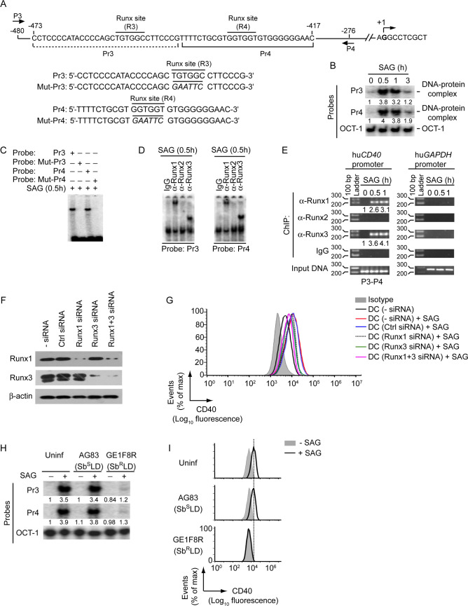 Sb R LD inhibits SAG-induced CD40 upregulation on HuMoDCs by impairing Runx binding to the CD40 promoter. (A) A schematic of human CD40 promoter showing the location of putative Runx-binding sites (R3 and R4) and ChIP primers (P3 and P4), and details of oligonucleotide probes used for EMSA. Human CD40 promoter-specific Pr3 and Pr4 probes contain putative wild-type Runx-binding sites, and Mut-Pr3 and Mut-Pr4 probes contain mutations (in italics) at Runx-binding sites. Base positions are relative to the transcription start site. (B and C) EMSA of nuclear extracts of HuMoDCs treated with SAG for indicated times; assayed with indicated probes. OCT-1 binding (in B) serves as an internal control. Numbers below lanes in (B), densitometry readings (as in Fig 2B ); presented relative to untreated HuMoDCs (0 h). (D) Supershift EMSA (antibodies and probes are indicated above and below lanes, respectively) to assess the binding of nuclear Runx1, Runx2 and Runx3 to the CD40 promoter in HuMoDCs treated with SAG for 0.5 h. (E) ChIP assay [with the primers shown in (A) and antibodies indicated at left margin] to determine the binding of Runx proteins to -480/-276 region of the CD40 promoter in HuMoDCs treated with SAG (time, above lanes). Amplification of human GAPDH promoter and chromatin immunoprecipitated by rabbit IgG were used as negative controls, and input DNA (2%) as an internal control. Numbers below lanes represent densitometry, normalized to input DNA and presented relative to that of untreated HuMoDCs (0 h). hu CD40 , human CD40 ; hu GAPDH , human GAPDH . (F) Immunoblot analysis of Runx1 and Runx3 expression in HuMoDCs left untransfected, or transfected with control siRNA, Runx1 siRNA, Runx3 siRNA or Runx1 and Runx3 siRNAs (Runx1+3 siRNA). β-actin serves as a loading control. (G) Flow cytometry analysis of CD40 expression on HuMoDCs transfected with indicated siRNAs and then cultured with or without SAG for 24 h. (H) EMSA of nuclear extracts of HuMoDCs left uninfected o