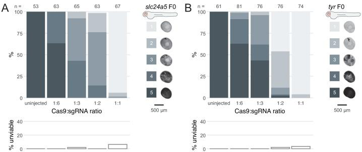 Cas9 and gRNA achieve highest phenotypic penetrance at 1-to-1 ratio. ( A–B ) (top) Phenotypic penetrance as gradually more Cas9 was injected; 1:6: 4.75 fmol Cas9, 1:3: 9.5 fmol Cas9, 1:2: 14.25 fmol Cas9, 1:1: 28.5 fmol Cas9. gRNA was kept constant at 28.5 fmol. Pictures of the eye at 2 dpf are examples of the scoring method (reproduced from Figure 1C,D ). (bottom) Unviability as percentage of 1-dpf embryos.
