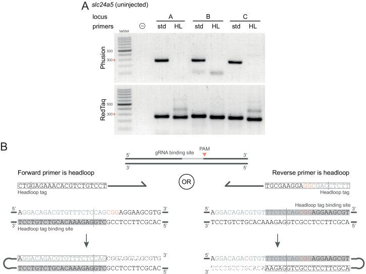 Technical considerations for headloop PCR. ( A ) Comparison between results obtained with a proofreading (Phusion Hot Start II) or a non-proofreading (REDTaq) DNA polymerase for three target loci (A, B, C) of slc24a5 amplified with the PCR primers used for sequencing (std, standard) or when one is replaced by a headloop primer (HL). Samples were uninjected controls. Orange arrowheads mark the 300 bp ladder band. ( B ) Headloop primer designs, using slc24a5 locus G as an example. To perform headloop PCR, the forward or reverse primer from a previously verified primer pair is modified with a 5' tag sequence and used in conjunction with its unmodified partner. The sequence of the headloop tag is selected so that the predicted Cas9 cleavage site (dashed line) is located towards the 5'-end of the tag. (left) If the modified primer and the gRNA binding site are in the same direction (headloop tag is added to the forward primer and gRNA binding site is on the 5'–3' genomic strand), the reverse-complement of the gRNA binding site is sufficient (grey underlay). (right) If the modified primer and the gRNA binding site are in opposite directions (headloop tag is added to the reverse primer while gRNA binding site is on the 5'–3' genomic strand), a sequence that includes the protospacer adjacent motif (PAM, orange font) and shifted from the gRNA binding site is sufficient. In both cases, after second strand elongation, the tag is able to bind the target sequence and direct elongation (hatched sequences) to form a hairpin, suppressing exponential amplification of the wild-type haplotype. Framed: headloop tag; grey font: gRNA binding site; grey underlay: headloop tag binding site.