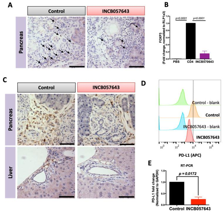 INCB057643 reduces the expression of FOXP3 in CD4 T cells and PD-L1 expression in macrophages. Immunohistochemistry for FOXP3 ( A ) or PD-L1 ( C ) in pancreas and liver of KPC mice treated with vehicle control or INCB057643 for 16 weeks. Scale bar = 30 µm. ( B ) CD4 T cells were isolated from a spleen of a wild type mouse using negative magnetic bead selection. CD4 T cells were plated with anti-CD3 (or PBS, a control for non-stimulated T cells), <t>anti-CD28,</t> IL-2 and TGF-β for 24 h prior to adding INCB057643 (100 nM) for 4 days. CD4 T cells were collected and levels of FOXP3 were determined by PCR. p