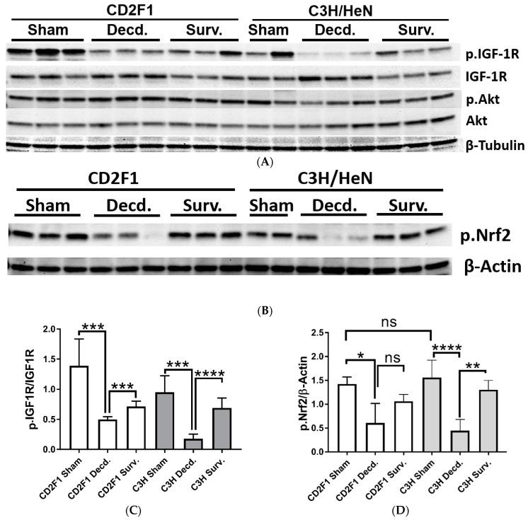 Western blot analysis of IGF-1R, Akt and Nrf2 activation in sham and LD 70/30 irradiated CD2F1 and C3H/HeN adult male mice. ( A , B ) Analysis of phosphorylated IGF-1 receptor (p.IGF1R, Tyr1135/1136), total IGF-1R, phosphorylated Akt (p.Akt, Ser473), total Akt, phosphorylated Nrf2 (p.Nrf2, Ser40 residue), β–Tubulin and β–Actin in heart protein extracts from sham, irradiated decedent (Decd.) and irradiated survivor (Surv.) mice. ( C , D ) Quantification of the IGF-1R and Nrf2 activation. The Y axis in graphs represents the ratios of the respective measured pixel intensities of Western blot bands. Total number of analyzed samples from both CD2F1 and C3H strains: sham— n = 6; decedent— n = 6; survivor n = 3. Data analyzed by Student's t -test and are presented as mean ± SEM, * p