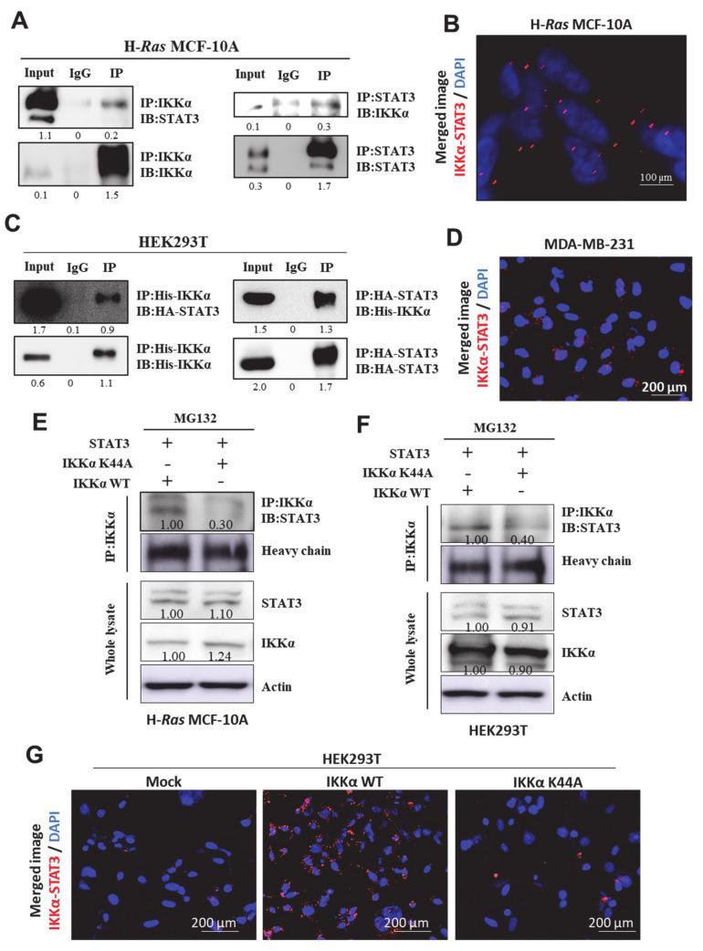 STAT3 directly interacts with IKKα in vitro. ( A , C ) IP analysis showing a physical interaction between IKKα and STAT3 in H- Ras MCF-10A ( A ) and HEK293T ( C ) cells. Immunoprecipitation was performed with IKKα (left) or STAT3 (right) antibodies, followed by immunoblotting with antibodies for STAT3 and IKKα, respectively. IgG, a negative control for immunoprecipitation; input, total protein lysate. ( B , D ) Duolink analysis showing the interaction between STAT3 and IKKα in H- Ras MCF-10A ( B ) and MDA-MB-231 ( D ) cells. The representative image was visualized under the fluorescent microscope. ( E , F ) H- Ras MCF-10A ( E ) and HEK293T ( F ) cells were transfected with IKKα wild type (WT) or K44A mutant (K44A) in the presence of STAT3 construct for 48 h, followed by <t>MG132</t> treatment for additional 2 h. Immunoprecipitation analysis showing the interaction between STAT3 and either WT or K44A IKKα. ( G ) Duolink analysis showing the STAT3 binding to IKKα WT or K44A mutant in HEK293T cells.