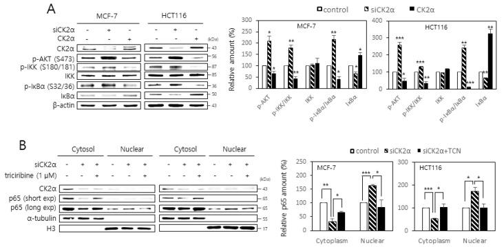 Activation of the AKT- IκB kinase (IKK)-inhibitors of NF-κB (IκB) pathway is associated with the CK2 down-regulation-mediated nuclear import of NF-κB. ( A ) MCF-7 and HCT116 cells were transfected with CK2α siRNA or pcDNA3.1-HA-CK2α for two days. The level of each protein was determined by immunoblot analysis using specific antibodies ( left ). Representative data from three independent experiments are shown. <t>β-Actin</t> was used as a control. Graphs represent the quantitation of p-AKT, IKK, and IκBα relative to β-actin and that of p-IKK and p-IκBα relative to the unphosphorylated proteins ( right ). ( B ) Cells were transfected with CK2α siRNA or pcDNA3.1-HA-CK2α for two days in the absence or presence of 1 μM triciribine (TCN). Cytoplasm and nuclei were isolated from cells, and both extracts were visualized by immunoblotting. α-Tubulin (cytoplasmic marker) and histone H3 (nuclear marker) were quantified as loading controls ( left ). Representative data from three independent experiments are shown. Graphs represent the quantitation of RelA/p65 relative to the subcellular markers ( right ). exp, exposure. Data are mean ± SEM. * p