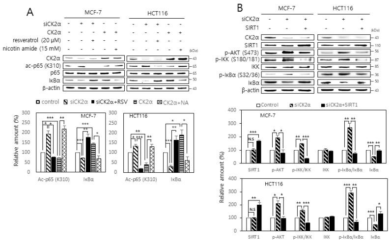 SIRT1 attenuates both RelA/p65 acetylation and activation of the AKT-IKK-IκB axis mediated by CK2 down-regulation. ( A ) MCF-7 and HCT116 cells were transfected with CK2α siRNA or pcDNA3.1-HA-CK2α for two days in the absence or presence of 20 μM resveratrol or 15 mM nicotine amide. The level of each protein was determined by immunoblot analysis using specific antibodies ( top ). Representative data from three independent experiments are shown. β-Actin was used as a control. Graphs represent the quantitation of acetylated p65 (ac-p65) relative to unacetylated p-65 ( bottom ). RSV, resveratrol; NA, nicotine amide. ( B ) Cells were transfected with CK2α siRNA and/or pECE-Flag-SIRT1 for two days. The level of each protein was determined by immunoblot analysis using specific antibodies ( top ). Representative data from three independent experiments are shown. β-Actin was used as a control. Graphs represent the quantitation of p-AKT, IKK, and IκBα relative to β-actin and that of p-IKK and p-IκBα relative to unphosphorylated proteins ( bottom ). Data are mean ± SEM. * p