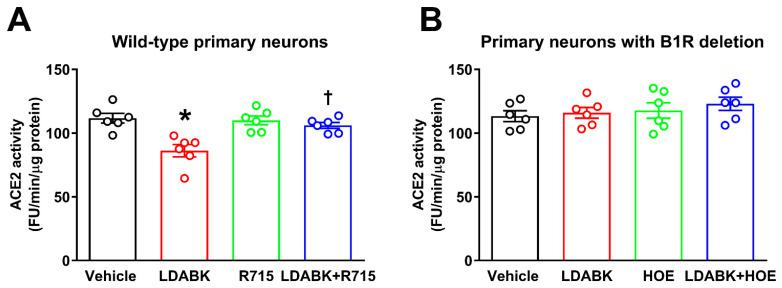 Effect of B1R activation on ACE2 activity in primary hypothalamic neurons. ( A ) Incubation of wild-type neurons with B1R-specific agonist LDABK significantly decreased ACE2 activity. R715, a B1R-specific antagonist pretreatment prevented this LDABK-mediated decrease in ACE2 activity. R715 treatment alone did not have any effect on ACE2 activity. ( B ) Treatment with LDABK did not show any effect on ACE2 activity in neurons with B1R deletion. In addition, the HOE 140, a B2R-specific antagonist also did not show any effect on ACE2 activity. The cultured primary neurons were pre-treated with a specific B1R antagonist (R715, 10 μM) or a specific B2R antagonist HOE 140 (HOE, 10 μM) for 1 h, followed by treatment with LDABK (300 nM) for 18 h ( n = 6 independent cultures/group). Statistical significance: one-way ANOVA followed by Tukey's multiple comparisons test. * p