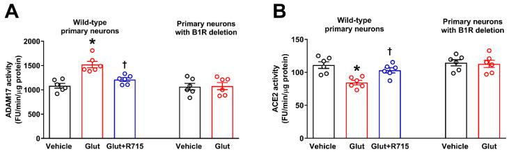 Glutamate-induced ADAM17-mediated ACE2 shedding involves kinin B1R activation. Glutamate increased ADAM17 activity ( A ) and decreased ACE2 activity ( B ) in neurons, which was prevented by pre-treatment with R715. Treatment of B1R knockout neurons with glutamate did not show any effect on ADAM17 or ACE2 activity. ADAM17 and ACE2 assays were performed in primary hypothalamic neurons cultured from wild-type and B1R knockout neonates, treated with glutamate (Glut, 100 μM) or glutamate with 1 h of pre-treatment with R715 (a specific B1R inhibitor, 10 μM) for 18 h ( n = 6 independent cultures/group). Statistical significance: one-way ANOVA followed by Tukey's multiple comparisons test. * p