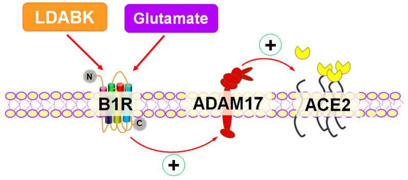 Activation of kinin B1R upregulates ADAM17-mediated ACE2 shedding in primary hypothalamic neurons. B1R activation by specific agonist results in upregulation of ADAM17 expression and activity which results in increased membrane-bound ACE2 shedding and reduced ACE2 activity in primary hypothalamic neurons. In addition, glutamate can induce B1R expression and B1R is involved in glutamate-mediated effects on ADAM17 activity and ACE2 shedding.