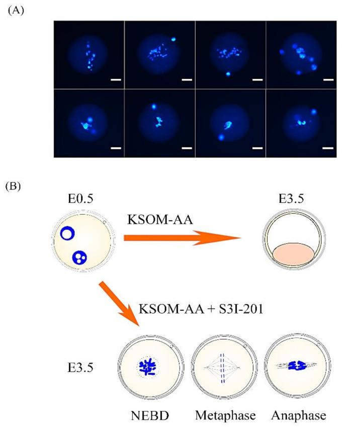 Abnormal chromosome plate in arrested zygote stage embryos treated with STAT3 inhibitor S3I-201. ( A ) Representative images of abnormal metaphase chromosome plates in arrested zygotes after treatment with 100-μM S3I-201 inhibitor in KSOM-AA embryo culture medium. Chromosomal DNA was stained with DAPI, a blue fluorescent dye. All samples were analyzed under a laser scanning confocal microscope. Scale bar = 20 µm. ( B ) Representative images of the different morphologies of the abnormal metaphase chromosome plates.