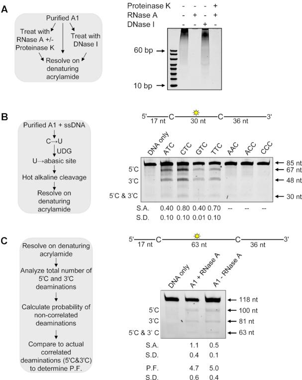 Characterization of A1 RNA binding and ssDNA deamination activity. ( A ) Determination of nucleic acids that co-purify with A1. Experimental outline (sketch) shown alongside visualization of samples after denaturing gel electrophoresis. ( B ) Determination of the preferential deamination motif of A1 using the Uracil DNA Glycosylase (UDG) assay (sketch, left). Deamination of an 85 nt ssDNA with deaminated cytosines spaced 30 nt apart and an internal fluorescein label (sketch, above gel). Single deaminations of the 5′C and 3′C are detected as the appearance of 67 and 48 nt fragments, respectively; double deamination of both residues results in a 30 nt fragment. The 85 nt ssDNA substrates contained different deamination motifs, as labeled above the gel, to determine the optimal substrate. The specific activity (S.A.) was measured as pmol substrate deaminated/μg enzyme/min (pmol/μg/min) ( C ) Deamination of a 118 nt ssDNA substrate with deamination motifs spaced 63 nt apart and an internal fluorescein level (sketch, above gel). Single deaminations of the 5′C and 3′C are detected as the appearance of labeled 110 and 81 nt fragments, respectively; double deamination of both C residues on the same ssDNA results in a 63 nt fragment. A1 was either treated or not treated with RNase A. Analysis to determine a processivity factor (P.F.) is illustrated in the sketch, left. (B and C) The measurements of S.A., P.F., or standard deviation (S.D.) from three independent experiments are indicated below the gel.
