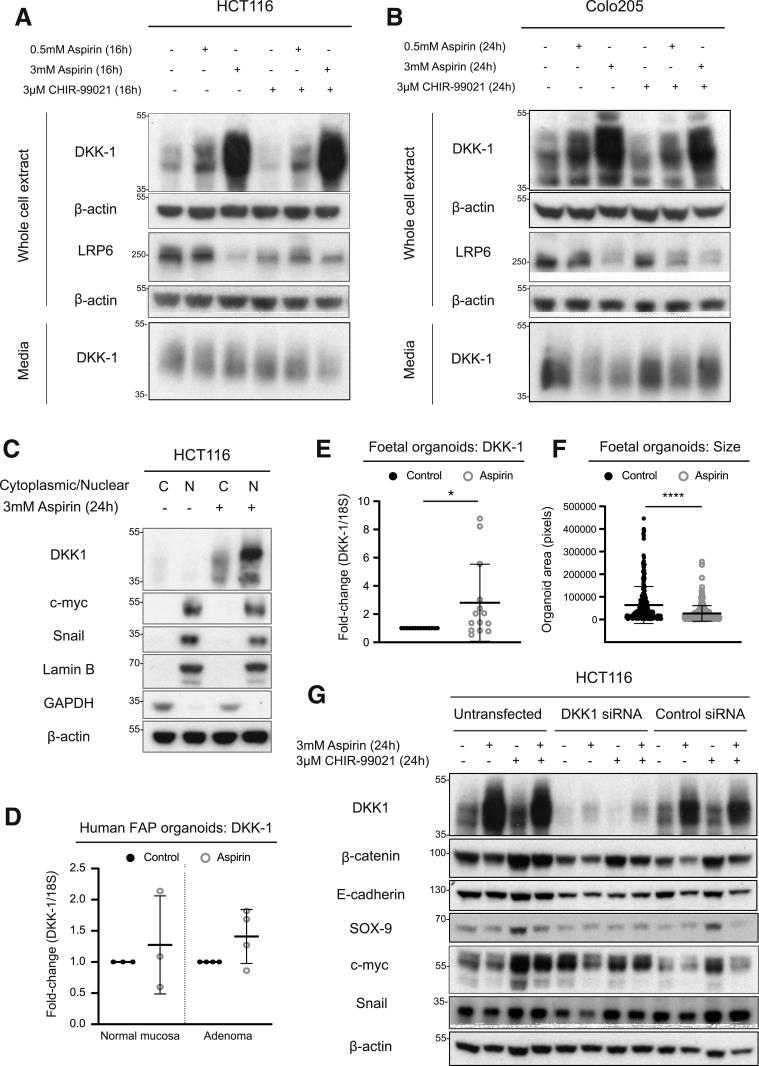 Aspirin treatment increases expression of intracellular DKK-1 while reducing secreted DKK-1. ( A ) Immunoblotting for DKK-1 and LRP6 protein abundance in whole cell extracts and secreted DKK-1 protein abundance in media from HCT116 cells treated with 0.5 mmol/L aspirin, 3 mmol/L aspirin, 3 μmol/L CHIR-99021, or combination for 16 and 24 hours. ( B ) Immunoblotting for DKK-1 and LRP6 protein abundance in whole cell extracts and secreted DKK-1 protein abundance in media from Colo205 cells treated with 0.5 mmol/L aspirin, 3 mmol/L aspirin, 3 μmol/L CHIR-99021, or combination for 16 and 24 hours. ( C ) Immunoblotting of DKK-1, c-myc, and Snail protein abundance in cytoplasmic/nuclear extracts from HCT116 cells treated with 3 mmol/L aspirin for 24 hours. Immunoblotting data representative of 3 independent experiments. ( D ) DKK-1 transcript expression in organoids derived from human FAP normal colonic mucosa tissue and adenomatous tissue treated with 2 mmol/L aspirin for 4 hours. DKK-1 transcript levels are normalized to 18S transcripts, and data are expressed as fold-change compared with untreated control sample. DKK-1 transcript data represent 3 individual FAP patient samples. ( E ) DKK-1 transcript expression in fetal organoids treated with 2 mmol/L aspirin for 8 days. DKK-1 transcript levels are normalized to 18S transcripts, and data are expressed as fold-change compared with untreated control sample. ( F ) Average size of fetal organoids treated with 2 mmol/L aspirin for 8 days. Fetal organoid data represent 4 independent experiments. (G) Immunoblotting of DKK-1, <t>β-catenin,</t> E-cadherin, SOX-9, c-myc, and Snail protein abundance in untransfected HCT116 cells and HCT116 cells transfected with siRNA targeting DKK-1 or control siRNA. Cells were treated with 3 mmol/L aspirin, 3 μmol/L CHIR-99021, or combination for 24 hours. β-actin represents sample control. DKK-1 siRNA data representative of 3 independent experiments. Graphs represent individual data plots with 