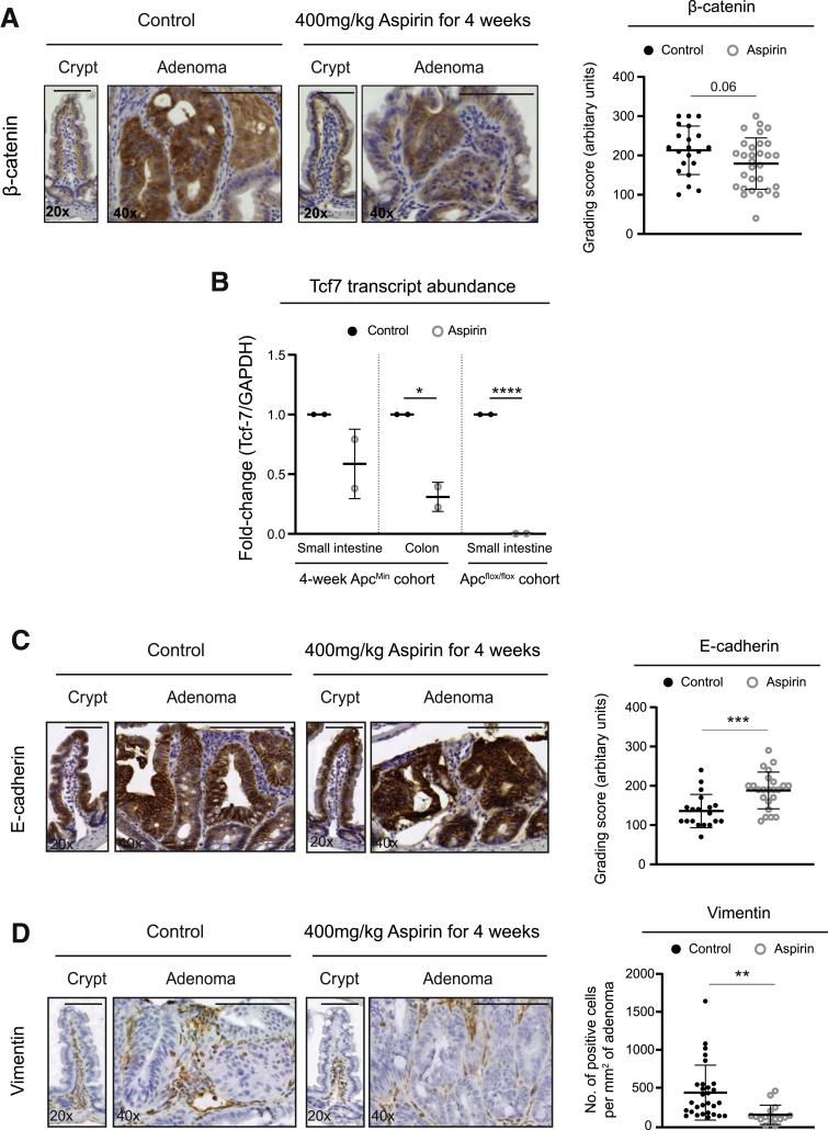 Aspirin reduces β-catenin and EMT markers in vivo. ( A ) Immunohistochemistry images and quantification of control and aspirin-treated (400 mg/kg aspirin by oral gavage for 4 weeks) Apc Min/+ mouse tissue stained for β-catenin expression. ( B ) Transcript expression of Tcf7 in Apc Min/+ mouse crypts treated with 400 mg/kg aspirin for 4 weeks and Apc flox/flox mouse organoids treated with 2 mmol/L aspirin for 12 days. Tcf7 transcript levels are normalized to GAPDH transcripts and expressed as fold-change compared with untreated control sample. Data represent 1 mouse per experimental condition. ( C ) Immunohistochemistry images and quantification of control and aspirin-treated (400 mg/kg aspirin by oral gavage for 4 weeks) Apc Min/+ mouse tissue stained for E-cadherin expression. ( D ) Immunohistochemistry images and quantification of control and aspirin-treated (400 mg/kg aspirin by oral gavage for 4 weeks) Apc Min/+ mouse tissue stained for vimentin expression. Quantification of β-catenin (21 control and 30 aspirin-treated adenomas), E-cadherin (37 control and 23 aspirin-treated adenomas), and vimentin (29 control and 16 aspirin-treated adenomas) staining in adenoma tissue from cohort of 5 Apc Min/+ control and 4 Apc Min/+ aspirin-treated mice. Microscope objective magnification noted in bottom left corner of image. Scale bar = 50 μm. Graphs represent individual data plots with overlay of mean and standard deviation. Statistical significance determined by unpaired Student t test. Asterisks denote P value (∗