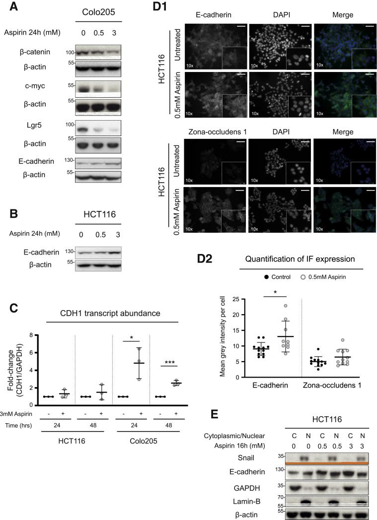 Aspirin reduces Wnt signaling and promotes an epithelial phenotype in CRC cells. ( A ) Immunoblotting of β-catenin, c-myc, Lgr5, and E-cadherin protein abundance in Colo205 cells treated with 0.5 or 3 mmol/L aspirin for 24 hours. ( B ) Immunoblotting of E-cadherin protein expression in HCT116 cells treated with 0.5 or 3 mmol/L aspirin for 24 hours. ( C ) E-cadherin (CDH1) transcript expression in HCT116 and Colo205 cells treated with 3 mmol/L aspirin for either 24 or 48 hours. CDH1 transcript levels are normalized to GAPDH transcripts and expressed as fold-change compared with untreated control sample. Data represent 3 independent experiments. ( D1 ) Immunofluorescence images of E-cadherin and zona occludens 1 staining in HCT116 cells treated with 0.5 mmol/L aspirin for 24 hours. ( D2 ) Quantification of E-cadherin and zona occludens 1 staining in HCT116 cells treated with 0.5 mmol/L aspirin for 24 hours. Staining intensity quantified as mean grey intensity per cell. Data represent 2 independent experiments. ( E ) Immunoblotting of E-cadherin and Snail protein abundance in cytoplasmic/nuclear extracts from HCT116 cells treated with 0.5 or 3 mmol/L aspirin for 16 hours. Immunoblotting data representative of 3 independent experiments. Microscope objective magnification noted in bottom left corner of image. Scale bar = 50 μm. Graphs represent individual data plots with overlay of mean and standard deviation. Statistical significance determined by unpaired Student t test. Asterisks denote P value (∗