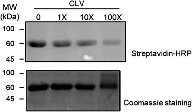 Competition assay between clavulanic acid (CLV) and CLV-tetraethylenglycol-Biotin (CLV-TEG-B). Human serum albumin (HSA) was preincubated with increasing concentrations of CLV (80, 800 and 8,000 μM) for 16 h at 37°C and then with a fixed concentration of CLV-TEG-B (80 μM) for 2 h at 37°C. Resulting adducts were analyzed by SDS-PAGE and CLV-TEG-B modification was detected by blot with streptavidin-HRP and ECL detection (top panel) . Total protein was detected by Coomassie staining (bottom panel) .