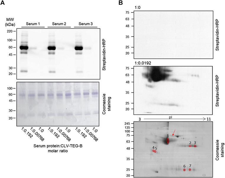 Detection of modification of serum proteins by clavulanic acid (CLV)-tetraethylenglycol-Biotin (CLV-TEG-B) and identification of targets. Human sera were incubated in the presence of CLV-TEG-B for 16 h at 37°C. (A) 4 µg aliquots of resulting adducts were analyzed by SDS-PAGE and CLV-TEG-B modification was detected by blot with streptavidin-HRP and ECL detection. Lower panel shows the Coomassie staining for total proteins visualization. (B) 50 µg aliquots of resulting adducts were subjected to 2D-eletrophoresis on duplicate gels, after which, one of the gels was used for detection of modified proteins by transfer to membrane and biotin detection with avidin-HRP and the other one was used for protein staining with Coomassie. Matched spots were excised from the gel and used for tryptic digestion and peptide fingerprint analysis. The blot in the middle panel is deliberately overexposed in order to show the signals corresponding to modified immunoglobulin chains. The red arrow point towards a spot that could be proposed as transferrin, on the bases of its molecular weight and isoelectric point.