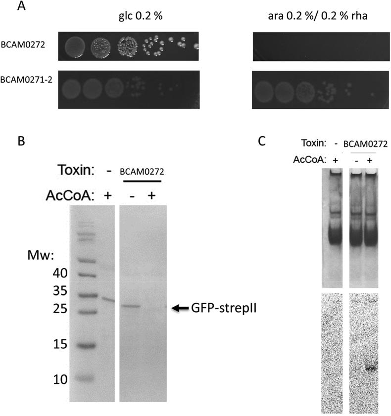 (a) The BCAM0271-2 gene pair constitutes a type II TA system. Overnight cultures of E. coli strains expressing BCAM0272 or BCAM0271-2 were serially diluted (10 −3 to 10 −8 , left to right). Dilutions were spotted on LBA with repressor (glucose 0.2%) and inducer (arabinose 0.2% (w/v) or rhamnose 0.2% (w/v)). (b). Synthesis of GFP-StrepII reporter protein expressed from the T7 promoter in an in vitro transcription-translation system in presence of BCAM0272 with (+) and without (−) acetyl-Coenzyme A. Products of reaction resolved by SDS-PAGE and visualised by Western Blot with anti-strepII-tag antibodies. (c) Acetylation of tRNA pool in an in vitro transcription-translation system by different GNAT toxins with (+) and without (−) [14C]acetyl-Coenzyme A. RNAs resolved by native PAGE and stained with methylene blue (top panel), gel was then dried and exposed to phosphor storage screen (bottom panel).