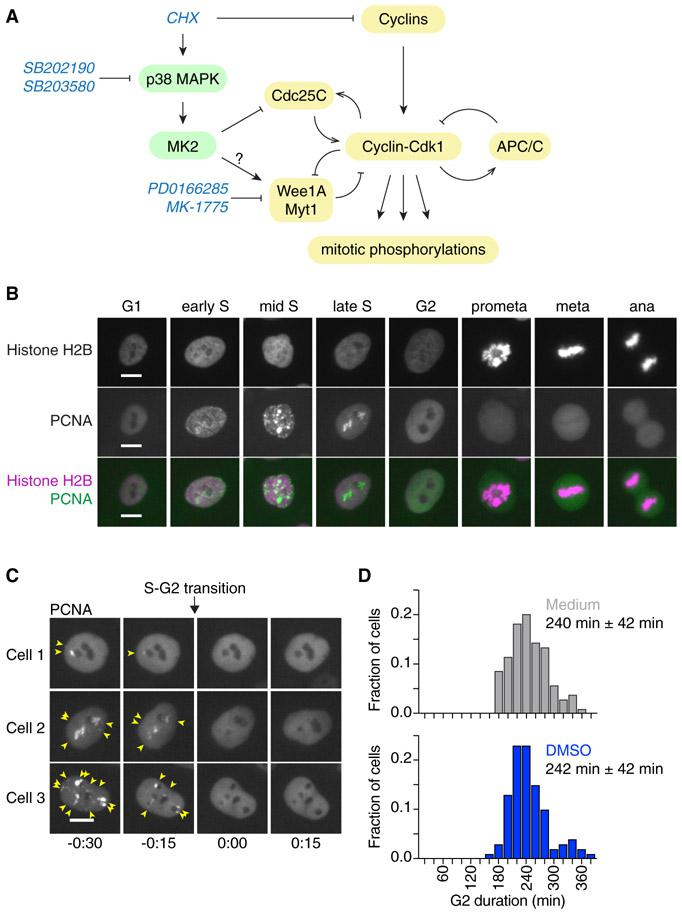 """Measuring the Duration of Cell Cycle Phases Using Fluorescently Labeled PCNA and Histone H2B in MCF10A Cells (A) Schematic of the regulation of Cdk1 activity at the G2/M transition by cyclins and multiple feedback loops. The protein synthesis inhibitor cycloheximide (CHX) can block cyclin accumulation; it also activates p38 MAPK, which can delay G2/M progression by inhibiting Cdc25 and/or potentially activating Wee1/Myt1 ( Reinhardt and Yaffe, 2009 ). The small-molecule inhibitors SB202190 and SB203580 and PD0166285 and MK-1775 have been used in this study to inhibit p38 MAPK or Wee1/Myt1 activity, respectively. (B) eYFP-PCNA can be used to determine the onset of S phase, the completion of S phase, and the onset of mitosis (nuclear envelope breakdown); histone H2B-mTurquoise (used here) or histone H2B-mCherry can be used to determine anaphase onset. Scale bars: 10 μm. (C) Three examples of cells showing the disappearance of eYFP-PCNA foci (yellow arrows) at the end of S phase. Times (in the format h:min) were aligned to the time of entry into G2 phase. Scale bars: 10 μm. (D) Frequency distributions of G2 phase duration measured in MCF10A cells expressing H2B-mCherry and eYFP-PCNA either in the absence (""""medium,"""" gray; n = 104) or presence of 0.1% DMSO (blue; n = 100). Means and standard deviations are indicated."""