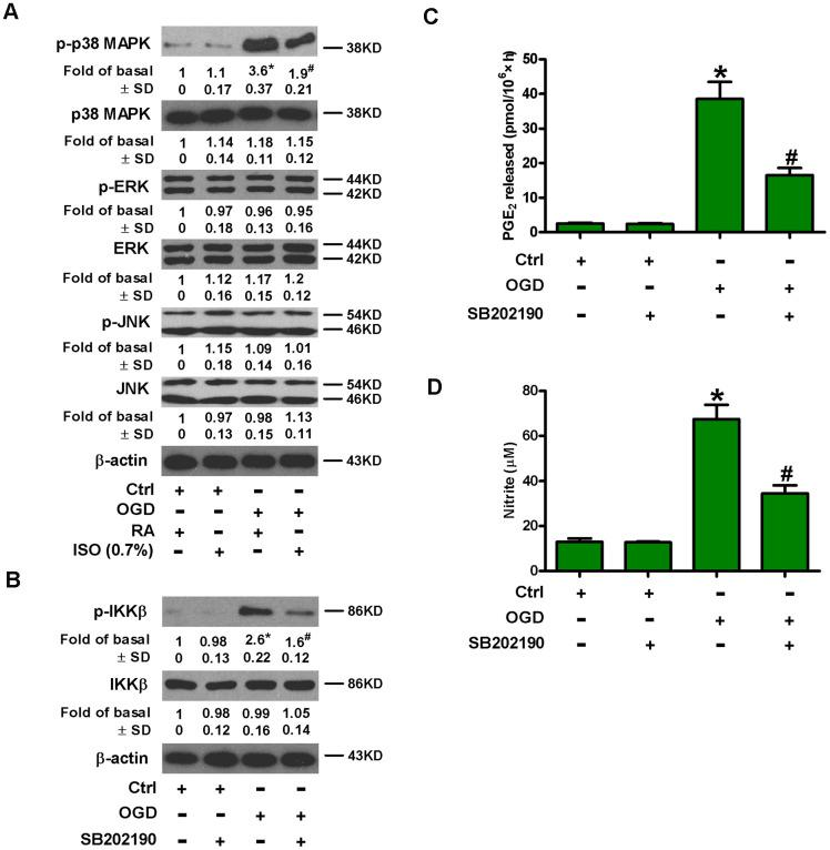 Sub-anesthetic ISO post-conditioning hinders OGD-caused activation of p38 MAPK and NF-κB p65 in microglial cells in co-cultures. ( A ) At the end of 3 h-OGD or Ctrl treatment, co-cultures were exposed to RA with or without 0.7% ISO for 30 min. All the cells were continuously cultured under normal conditions for 6 h after OGD exposure. Then, microglial cells were collected for further analyses. Representative western blots show protein expressions of p-p38 MAPK (Thr180/Tyr182), p38 MAPK, p-JNK1/2 (Thr183/Tyr185), JNK1/2, p-ERK1/2 (Thr185/Tyr187), and ERK1/2. β-actin was used as the internal control. ( B – D ) Co-cultures with or without SB202190 (10 μM) pretreatment for 30 min were subjected to 3 h-OGD or Ctrl treatment and continuously cultured under normal conditions for 6 or 24 h after OGD stimulation. Then, microglial cells were collected for further analyses. ( B ) Representative western blots show total and phosphorylated IKKβ levels at 6 h after OGD exposure. β-actin was used as the internal control. ( C ) Quantification of PGE 2 levels by RIA at 24 h after OGD treatment. ( D ) Quantification of NO production by Griess reagent at 24 h after OGD challenge. Representative data are from three independent experiments and expressed as mean ± SD. Statistical significance: * P