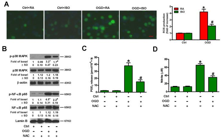 Sub-anesthetic ISO post-conditioning represses ROS-mediated activation of p38 MAPK/NF-κB signaling in OGD-stimulated microglial cells in co-cultures. ( A ) At the end of 3 h-OGD or Ctrl treatment, co-cultures were exposed to RA with or without 0.7% ISO for 30 min. All the cells were continuously cultured under normal conditions for 24 h after OGD exposure. Then, microglial cells were harvested for further analyses. The images of DCFH-DA-stained microglial cells were taken and ROS levels were calculated. Data represent the relative DCF fluorescence. Scale bar: 5 μm. ( B – D ) Co-cultures with or without NAC (5 mM) pretreatment for 30 min were subjected to 3 h-OGD or Ctrl treatment and continuously cultured under normal conditions for 6 or 24 h after OGD stimulation. Then, microglial cells were harvested for assays. ( B ) Representative western blots show total and phosphorylated p38 MAPK and NF-κB p65 levels at 6 h after OGD exposure. β-actin and lamin B were used as the internal controls. ( C ) Quantification of PGE 2 levels by RIA at 24 h after OGD exposure. ( D ) Quantification of NO production by Griess reagent at 24 h after OGD stimulation. Representative data are from three independent experiments and expressed as mean ± SD. Statistical significance: * P