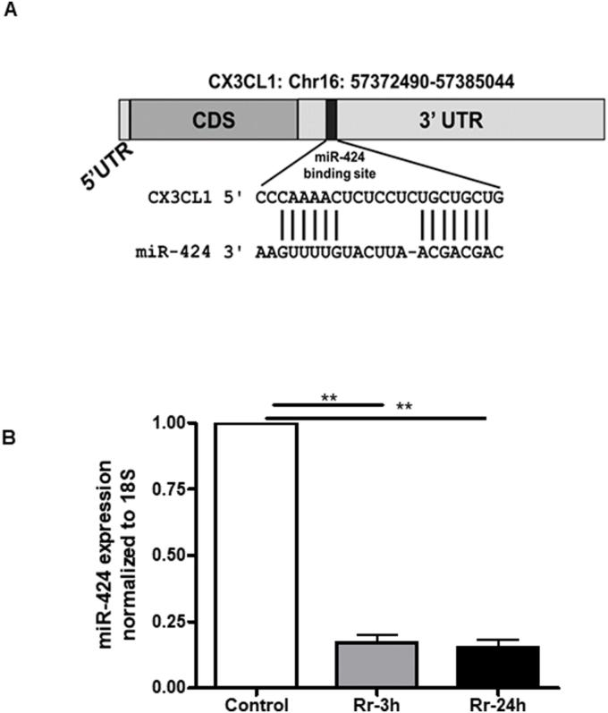 miR-424-5p (miR-424) expression in R. rickettsii infected endothelial cells. (A) Schematic depicting the binding site of miR-424 at the 3′UTR region of Cx3cl1 mRNA, suggesting Cx3cl1 as a potential target for miR-424. (B) Confluent HMECs were infected with R. rickettsii for 3 h or 24 h and processed using a <t>Tri-Reagent</t> protocol for the preparation of <t>RNA.</t> miR-424 expression was measured by RT-qPCR using a miR-specific Taqman assay. The error bars represent mean ± standard error from three separate experiments. The asterisks indicate significant change (p