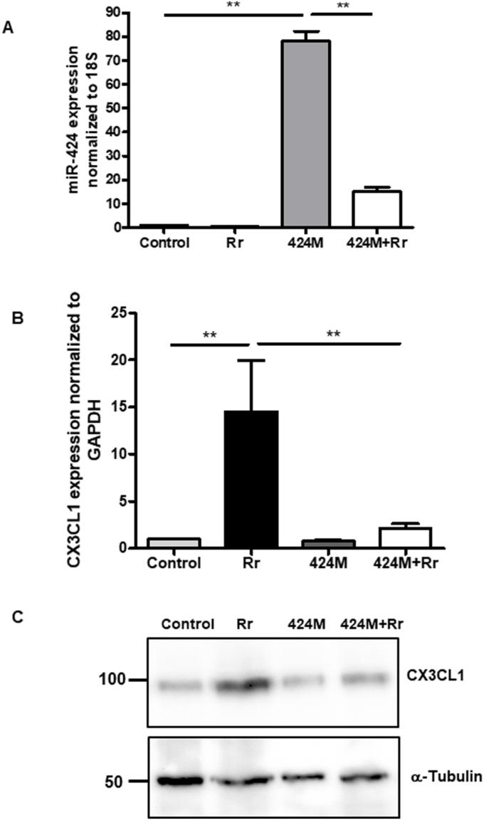 Regulation of Cx3cl1 mRNA expression by miR-424-5p (miR-424). (A) Endothelial cells were transfected with miR-424 mimic (1nM for 24 h) prior to infection with R. rickettsii for 24 h. Cells were then lysed in Tri-reagent for the isolation of RNA and determination of miR-424 expression by a Taqman assay. (B) Cx3cl1 mRNA expression was measured by RT-qPCR using a specific primer pair. (C) CX3CL1 protein expression was measured by western blot using an antibody against CX3CL1. The asterisks indicate statistically significant change (p