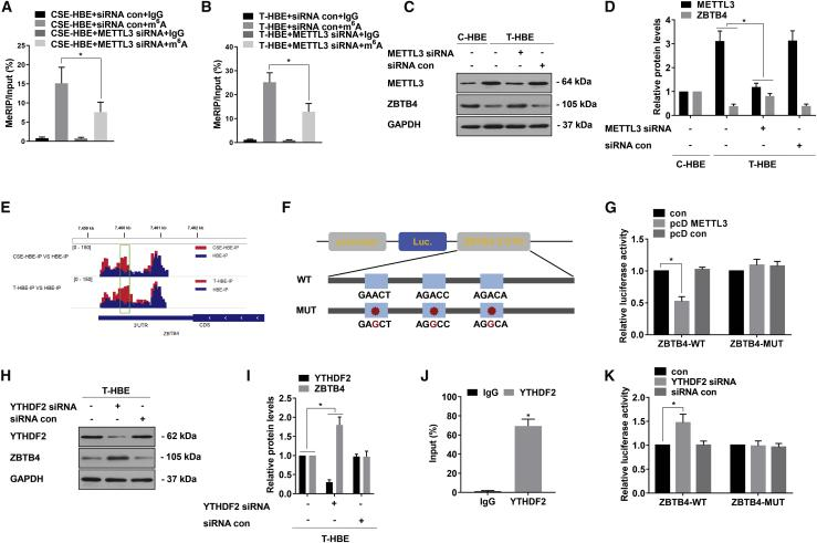 Silencing of ZBTB4 by a METTL3-m 6 A-YTHDF2-dependent mechanism T-HBE cells were transfected with METTL3 siRNA or siRNA con, pcD METTL3, or pcD con and YTHDF2 siRNA or siRNA con. (A) Methylated RNA immunoprecipitation (meRIP)-qPCR was applied to assess the m 6 A levels for ZBTB4 in CSE-HBE cells (mean ± SD, n = 3). (B) meRIP-qPCR was applied to assess the m 6 A levels for ZBTB4 in T-HBE cells (mean ± SD, n = 3). (C) Western blots were performed, and (D) relative protein levels (mean ± SD, n = 3) of METTL3 and ZBTB4 were determined. (E) Peaks indicating the relative abundance of m 6 A sites in ZBTB4 mRNA. (F) WT or m 6 A consensus sequence mutant ZBTB4 3′ UTR was fused with a firefly luciferase reporter. Mutations of m 6 A consensus sequences were generated by replacing A with G. (G) Relative activities of the WT and Mut luciferase reporters in T-HBE cells (mean ± SD, n = 3). (H) western blots were performed, and (I) relative protein levels (mean ± SD, n = 3) of YTHDF2 and ZBTB4 were determined. (J) RIP assays were performed in T-HBE cells to detect the direct binding between the ZBTB4 mRNA and YTHDF2 protein (mean ± SD, n = 3). (K) Relative activities of the WT and Mut luciferase reporters in T-HBE cells (mean ± SD, n = 3). ∗p