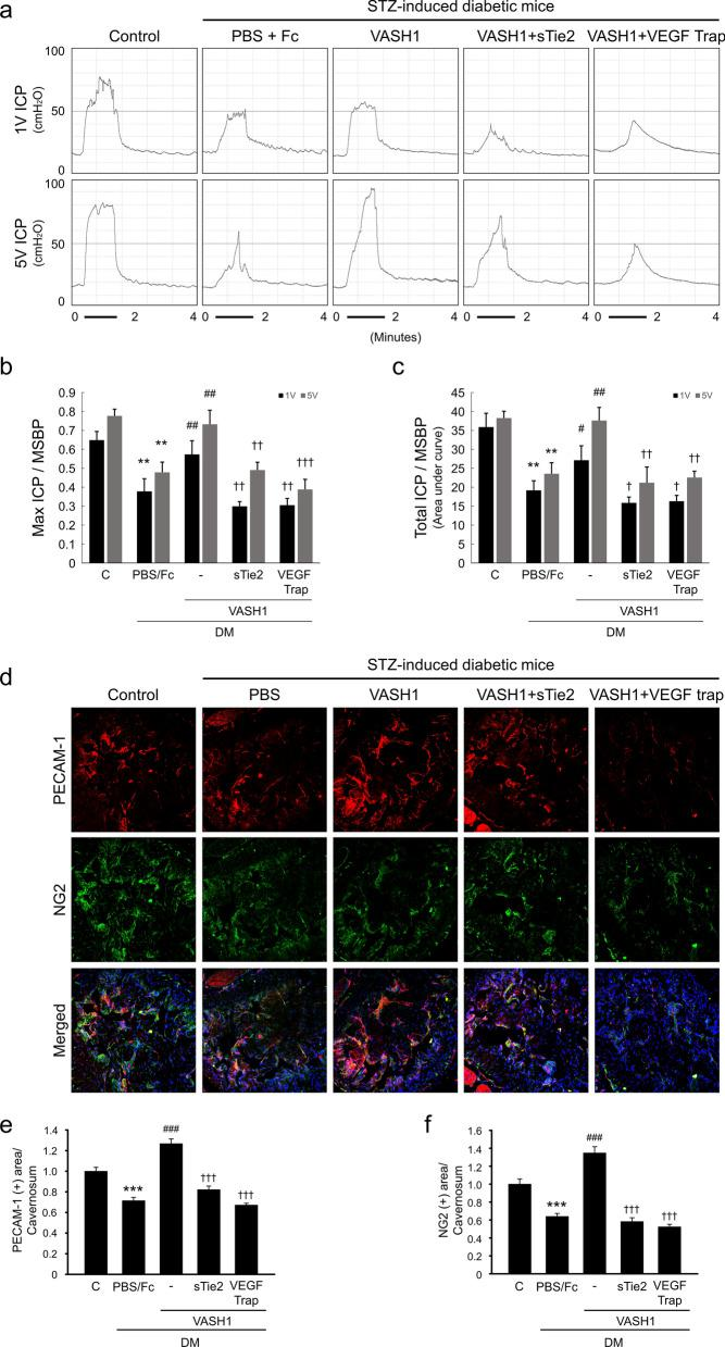 Inhibition of <t>Ang1</t> and <t>VEGF</t> diminishes VASH1 protein-mediated angiogenesis and recovery of erectile function in the diabetic mice. ( a ) Representative intracavernous (ICP) responses for the age-matched control and streptozotocin-induced diabetic mice stimulated at 2 weeks after repeated intracavernous injections of PBS + dimeric Fc (day − 3 and 0), VASH1 protein (day − 3 and 0; 4 μg/20 μL), VASH1 protein + soluble Tie2-Fc(sTie2-Fc; 4 μg/20 μL), or VASH1 protein + VEGF trap (4 mg/kg in 20 µL PBS). The stimulus interval is indicated by a solid bar. ( b , c ) Ratios of mean maximal ICP and total ICP (area under the curve) to mean systolic blood pressure (MSBP) were calculated for each group. Each bar depicts the mean (± SE) values from N = 6 animals per group. ** P