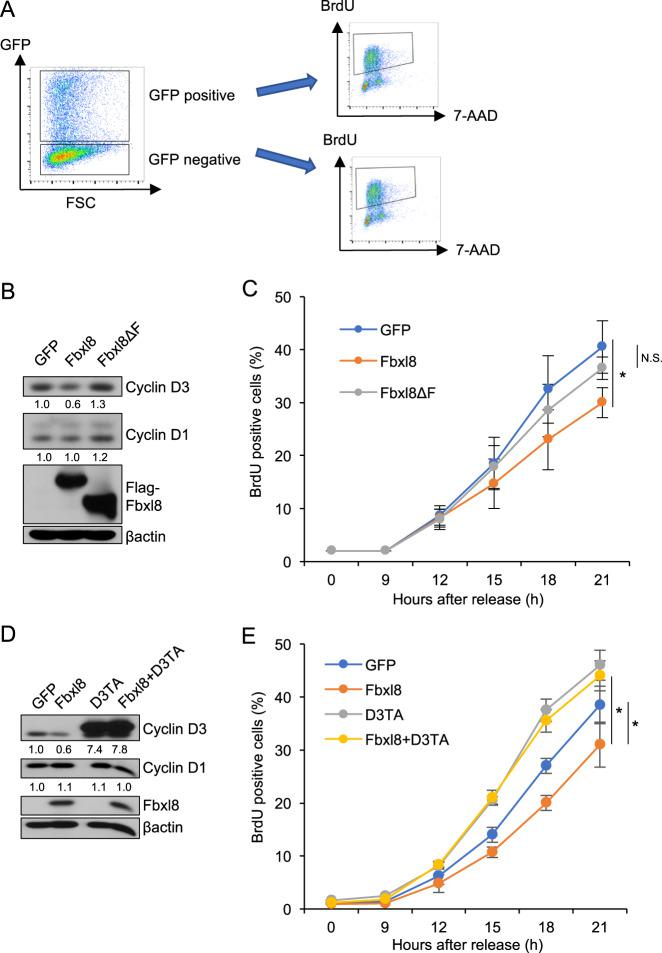 Overexpression of Fbxl8 recedes G1-S phase transition of cell cycle through degradation of cyclin D3. a Schematic model of experiment. NIH3T3 cells were transfected with MigR1 IRES-GFP, MigR1Fbxl8 IRES-GFP or MigR1Fbxl8ΔF IRES-GFP, and arrested at G0/G1 phase by serum starvation for 36 h. GFP positive cells and negative cells were FACS sorted and S phase entry was assessed by BrdU incorporation (30 min). b Western analysis of lysates from sorted GFP positive NIH3T3 cells expressing GFP, Fbxl8, or Fbxl8ΔF for cyclin D3, cyclin D1, Flag-Fbxl8 and βactin. The numbers indicate quantifications of cyclin D3 and cyclin D1 normalized by βactin. c GFP and BrdU double-positive cells were analyzed 9, 12, 15, 18, 21 h after release from G0/G1 phase by re-splitting cells in DMEM with 10%FBS. Quantification of GFP and BrdU double-positive cells; mean ± SD, * p