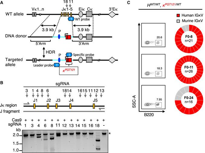 """Generation of a KI mouse model bearing a pre‐rearranged PGT121 κ Strategy for the insertion of PGT121 pre‐rearranged VJ into the mouse Ig κ locus. Targeting DNA donor with 5ʹ (3.9 kb) and 3ʹ (3.9 kb) homology arms to the C57BL/6 WT mouse Ig κ locus, murine promoter, leader, and the human PGT121 light chain VJ sequences are located between two homology arms. Two sgRNAs, 18 and 11, were targeted at J4‐J5 region of Ig κ locus. CRISPR/Cas9‐mediated HDR leads to the insertion of the promoter and PGT121 sequences into the C57BL/6 mouse genome. V segments, enhancers, and the kappa constant regions are shown in gray and labeled appropriately. Yellow rectangles represent J segments; dark blue oval represents the Vκ4‐53 promoter (P); light blue line represents the inserted segment and red rectangles show the rearranged PGT121 VJ. """"T"""" represents TaqMan probe. WT probes were used for the detection of WT allele, Leader probes were used for the detection of the 5ʹend of the insertion, the specific probes were used for the detection of pre‐arranged VJ insertion for PGT121 (probe sequences, see Appendix Table S1 ). A fragment of genomic DNA (2.2 kb) was amplified by PCR and in vitro sgRNA‐guided Cas9‐mediated cleavage assay was performed with each of the sgRNAs. sgRNA‐targeting sites are indicated by arrows, genomic DNA size is indicated by asterisk. B220 + single B cells from peripheral blood of three PGT121 LC KI naïve mice were sorted. B220 + B‐cell populations and their frequencies are shown in FACS plots (left panel). Ig light chains from single‐cell sorted B cells were PCR amplified and sequenced. The resulting IGLV libraries were compared to the PGT121 LC reference sequence. The pie charts indicate the frequency of IGLV sequences identical to human PGT121 (red) and mouse IGLV (gray)."""