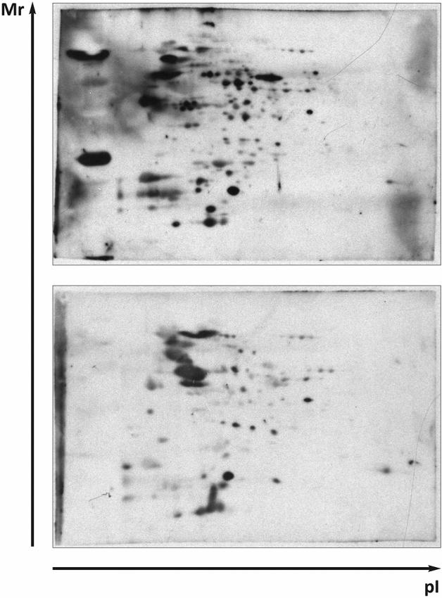 Western blot analysis to evaluate F. tularensis FSC200 whole-cell lysate protein targets recognized by sera from F. tularensis FSC200 infected Balb/c mice and detected by chemiluminescence. The 2-D reference immunoblots demonstrated the reaction of antibody clones in murine sera obtained from Balb/c GF (upper) and SPF (bottom) mice at 12 h post infection. A total 200 μg of protein was separated by immobilized pH gradient (IPG) strips (3–10) and 12% (w/v) SDS-PAGE gels. Polyclonal peroxidase-conjugated goat anti-mouse IgG antibody was used for secondary antibody detection. All experiments were performed in biological triplicates (individual sera) for all time intervals and were independently repeated at least three times.