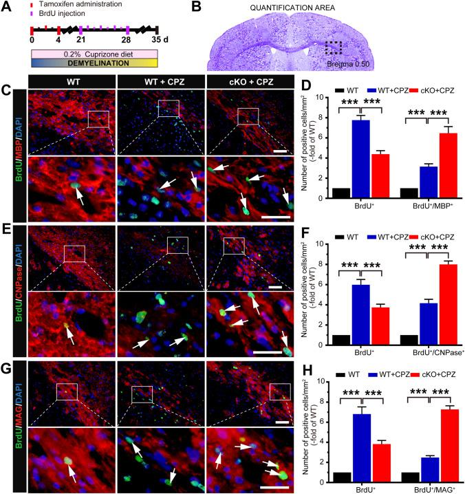 Conditional knockout of Foxg1 promotes the differentiation of oligodendrocyte precursor cells in the corpus callosum (CC) of mice induced by CPZ. A Schematic of cuprizone (CPZ) and BrdU administration time points during the experiment. Adult 7-week-old mice were fed a diet containing 0.2% CPZ for 5 weeks (demyelination phase); Tamoxifen (TM) was intraperitoneally injected (3 times, 24 h apart) from day 0 after feeding on a CPZ diet; BrdU was intraperitoneally injected twice a day for 7 consecutive days, and the mice were sacrificed on day 35. B Image showing the measured region (black dashed box) in coronal sections as in C – H . C – H Immunofluorescence double-labeled staining and quantitative analysis of BrdU/MBP ( C , D ), BrdU/CNPase ( E , F ), and BrdU/MAG ( G , H ) in the CC of Foxg1- cKO mice. White arrows indicate representative double-labeled positive cells; n = 8 per group; data are presented as the mean ± SEM; ** P