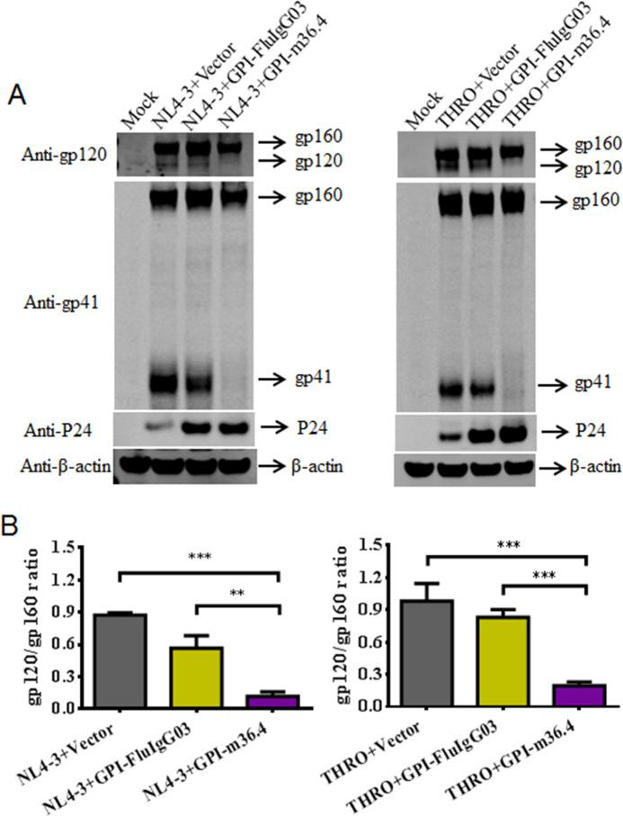 Effects of GPI-anchored antibodies on HIV-1 Env processing. A The expression levels of gp160, <t>gp120,</t> gp41, P24, and β-actin in HEK293T cells coexpressing GPI-m36.4 or GPI-FluIgG03 and NL4-3 (left panel) or THRO.c/2626 (right panel) were detected by Western blotting. For clarity, images were spliced and grouped, and the original images are provided in the Supplementary materials . B The ratio of gp120 to gp160 in cell lysates was determined by quantifying the corresponding band intensities with ImageJ. The data shown were derived from three independent experiments, and error bars indicate standard deviations. Statistical comparisons were conducted by ANOVA (** P