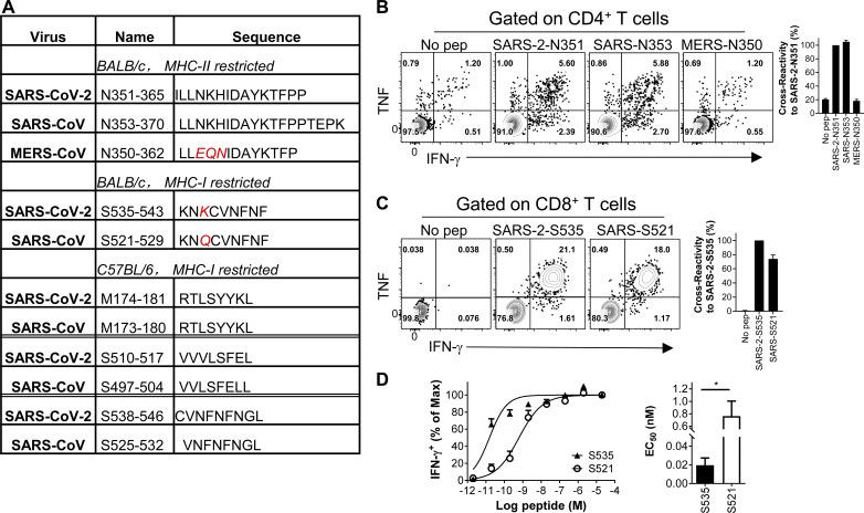 Cross-reactive T cell responses were found between SARS-CoV-2 and SARS-CoV in SARS-CoV-2–infected mice. (A) Characteristics of conserved T cell epitopes in SARS-CoV-2, SARS-CoV, and MERS-CoV. (B and C) BALB/c mice were transduced and infected with SARS-CoV-2. Lymphocytes derived from airway were prepared at 8 d.p.i. and stimulated with conversed epitopes. CD4 + (B) and CD8 + T cell responses (C) were detected by IFN-γ expression. Flow plots (left) and cross-reactivity rate (right) are shown ( n = 3 or 4 mice per group; data are representative of two independent experiments). (D) Functional avidity curves (left) of S535-specific CD8 + T cells and S521–cross-reactive CD8 + T cells and the amount of peptide required for half-maximum response (EC 50 ) are shown (right; n = 3 mice; data are representative of two independent experiments; Student's t tests; P value of D is 0.0182). *, P