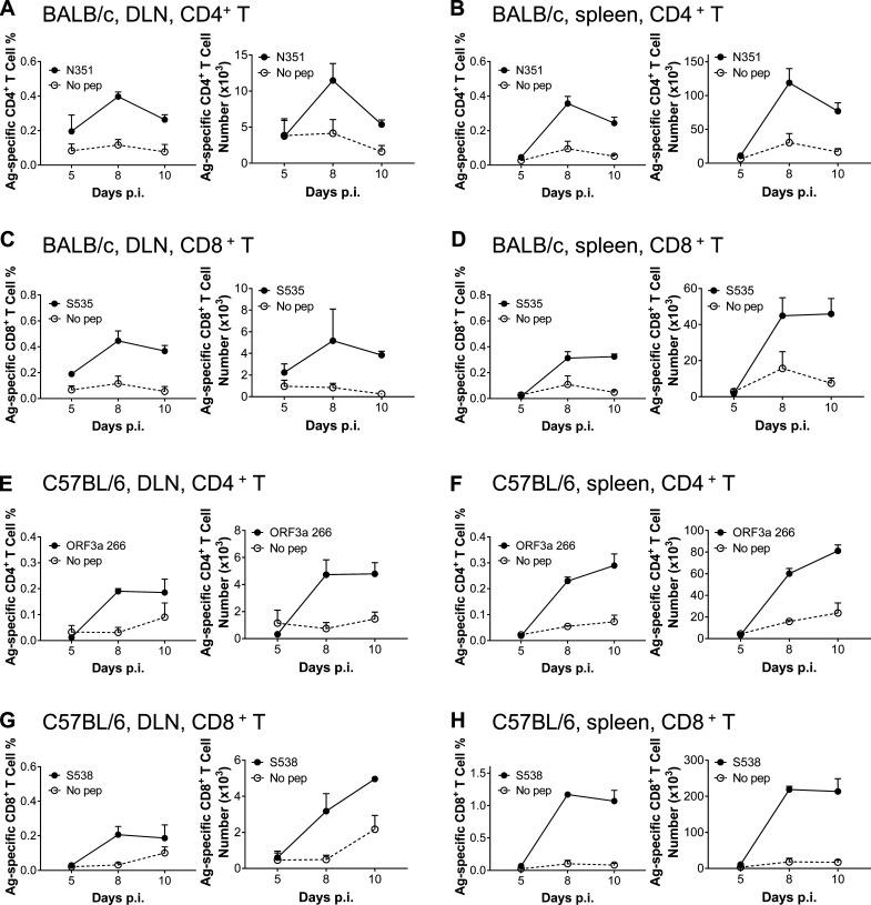 Kinetics of virus-specific T cell responses in DLNs and spleens of SARS-CoV-2–infected BALB/c and C57BL/6 mice. (A–D) Lymphocytes from DLN and spleen of transduced/infected WT BALB/c mice were harvested at indicated time points after infection and stimulated with 5 µM N351 (A and B) and 1 µM S535 (C and D) for 6 h in the presence of brefeldin A. The frequencies (left) and cell numbers of antigen-specific T cells (right) in DLN (A and C) and spleen (B and D) are shown ( n = 3 mice; data are representative of one experiment). (E–H) Lymphocytes from DLN and spleen of transduced/infected C57BL/6 mice were harvested at indicated time points and stimulated with 5 µM ORF3a 266 (E and F) and 1 µM S538 (G and H) for 6 h in the presence of brefeldin A. The frequencies (left) and cell numbers (right) of antigen-specific T cells are shown ( n = 3; data are representative of one experiment). All results are expressed as mean ± SEM. Ag, antigen; pep, peptide; p.i., post-infection.