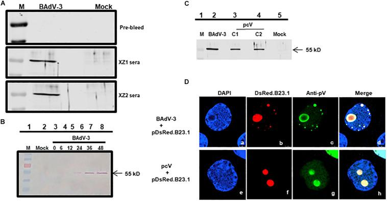 Expression of pV. Proteins from BAdV-3 infected MDBK cells (A,B) or indicated plasmid DNA transfected cells ( C ; lanes 3 and 4) or mock infected/transfected cells were harvested at different time points, separated by SDS-PAGE, and transferred to nitrocellulose membranes. The separated proteins were probed by Western blot using anti-pV serum. The position of the molecular weight marker (lane M) in kD was used for sizing the protein bands. (D) CRL cells were transfected with plasmid pDsRed.B23 DNA and infected by BAdV-3 (panels a–d) or co-transfected with plasmid pcV and pDsRed.B23.1 DNA (panels e–h) and fixed at 24 h post-infection\transfection. The DsRed.B23.1 was visualized by direct fluorescence microscopy (panels b, f). BAdV-3 pV was visualized by indirect immunofluorescence microscopy (panels c, g) using anti-pV antiserum and Alexa Fluor 488-conjugated goat anti-rabbit IgG. The nuclei were stained with DAPI.