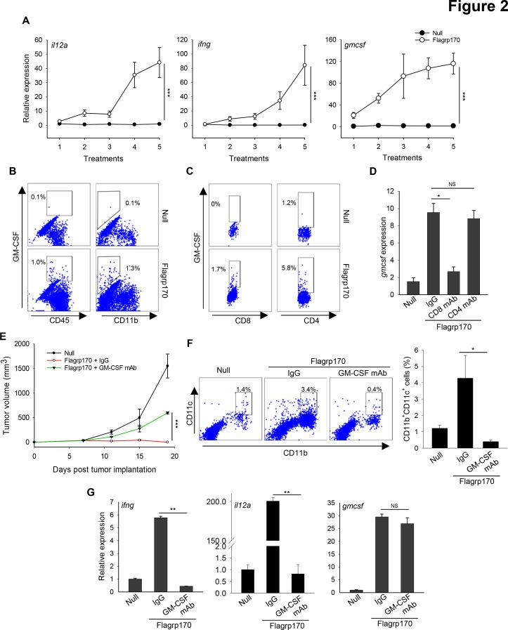 GM-CSF production induced by Flagrp170 immune programming is critical for its antitumor efficacy. (A) B16 tumor-bearing C57BL/6 mice (n=3) received in situ Flagrp170 therapy for a total of five doses. Tumor tissues were collected 24 hours after each treatment and subjected to analyzes of Th1 immunity-related genes. (B and C) Production of GM-CSF by tumor-infiltrating immune cell subsets was examined by intracellular cytokine staining and flow cytometry. (D) B16 tumor-bearing mice (n=3) were depleted of CD4 + or CD8 + T cells prior to Flagrp170 therapy by administration of the corresponding antibodies. Transcription of gmcsf gene in tumor tissues was assayed by quantitative PCR. Flagrp170-treated mice receiving normal IgG and mice receiving empty adenovirus serve as controls. (E) Neutralization of GM-CSF inhibits antitumor activity of Flagrp170. B16 tumor-bearing mice (n=5) were injected with GM-CSF neutralizing antibodies during in situ Flagrp170 treatment. (F) Tumor infiltration by CD11b + CD11c + dendritic cells was determined by flow cytometry. (G) Transcription of ifng, il12a , and gmcsf in tumor tissues (n=3) was assayed by quantitative PCR. Data shown are representative of three independent experiments. *p