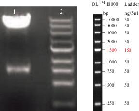 Confirmation of the recombinant plasmid pcDNA3.1(+)- seh by double restriction endonuclease analysis. Line 1, double restriction endonuclease analysis with BamHI / EcoRV for pcDNA3.1(+)- seh (recombinant vector); Line 2, DNA size marker.