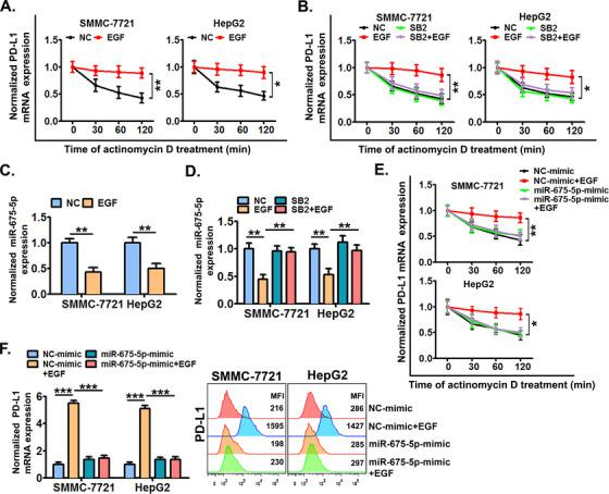 miR‐675‐5p‐enhanced PD‐L1 mRNA stability is crucial for the EGFR‐P38 MAPK axis‐induced PD‐L1 accumulation . (A) SMMC‐7721 and HepG2 cells were pre‐stimulated with or without EGF for 24 h and further treated with actinomycin D (5 μg/mL) for 0‐120 min, next cellular PD‐L1 mRNA expression was detected by qRT‐PCR. (B) Cells were pre‐treated with SB203580 (10 μmol/L) or dimethylsulfoxide (DMSO) for 6 h, and then co‐stimulated with or without EGF for an additional 24 h, next cells were further treated with actinomycin D (5 μg/mL) for 0‐120 min, and cellular PD‐L1 mRNA expression was detected by qRT‐PCR. (C) Cells were stimulated with or without EGF (20 ng/mL) for 24 h, and then the expression of miR‐675‐5p was detected by qRT‐PCR. (D) Cells pre‐treated with SB203580 (10 μmol/L) or DMSO for 6 h were further co‐treated with or without EGF (20 ng/mL) for an additional 24 h, and then, the expression of miR‐675‐5p was detected by qRT‐PCR. (E) Cells were pre‐treated with mimics of miR‐675‐5p or control mimics for 24 h, and then co‐stimulated with or without EGF for an additional 24 h. Next, the cells were treated with actinomycin D (5 μg/mL) for additional indicated time periods (0‐120 min), and the cellular PD‐L1 mRNA expression was detected by qRT‐PCR. (F) Cells were pre‐transfected with mimics of miR‐675‐5p or control mimics for 24 h, and then further co‐stimulated with or without EGF (20 ng/mL) for an additional 24 h.Next, the expression of PD‐L1 was detected by qRT‐PCR and flow cytometry. * P ≤ 0.05, ** P ≤ 0.01, *** P ≤ 0.001. Abbreviations: EGFR, epidermal growth factor receptor; EGF, epidermal growth factor; PD‐L1, programmed death‐ligand 1; HLA‐ABC, human leukocyte antigen class‐A, B, C; MAPK, mitogen‐activated protein kinase.