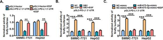 PD‐L1 3'‐UTR is probably required for the EGFR‐P38 MAPK‐miR‐675‐5p axis‐enhanced stability of PD‐L1 mRNA . (A) SMMC‐7721 and HepG2 cells were transfected with firefly luciferase reporter constructs containing the PD‐L1 3'‐UTR fragment (pGL3‐ PD‐L1 3'‐UTR) or control vectors (pGL3‐Vector) for 24 h, and then co‐stimulated with or without EGF (20 ng/mL) for another 24 h. Next, the cellular luciferase activity was determined by dual‐luciferase reporter assay system. (B) Cells pre‐transfected with pGL3‐ PD‐L1 3'‐UTR were further treated with SB203580 (10 μmol/L) or DMSO for 6 h, and then co‐stimulated with or without EGF (20 ng/mL) for an additional 24 h. Next, the cellular luciferase activity was determined by dual‐luciferase reporter assay system. (C) Cells pre‐transfected with pGL3‐ PD‐L1 3'‐UTR were further treated with mimics of miR‐675‐5p or control mimics for 24 h, and then co‐stimulated with or without EGF (20 ng/mL) for an additional 24 h. Next, the cellular luciferase activity was determined by dual‐luciferase reporter assay system. * P ≤ 0.05, ** P ≤ 0.01, *** P ≤ 0.001. Abbreviations: EGFR, epidermal growth factor receptor; EGF, epidermal growth factor; PD‐L1, programmed death‐ligand 1; HLA‐ABC, human leukocyte antigen class‐A, B, C; MAPK, mitogen‐activated protein kinase; 3'‐UTR, 3'‐untranslated region; DMSO, dimethylsulfoxide; miRNA, micro RNA.