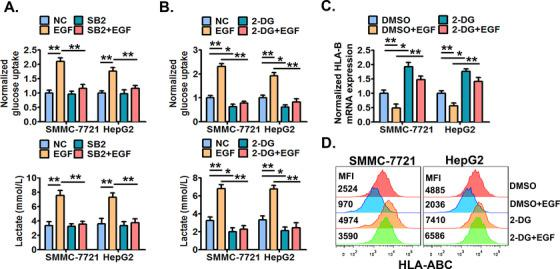 The EGFR‐P38 MAPK axis enhances the aerobic glycolysis which mediates HLA‐ABC down‐regulation in HCC cells . (A) SMMC‐7721 and HepG2 cells were pre‐treated with SB203580 (10 μmol/L) or DMSO for 6 h, and then stimulated with or without EGF (20 ng/mL) for an additional 24 h. Next, the cellular glucose uptake and lactate production were measured. Cells were pre‐treated with 2‐DG (10 μmol/L) or DMSO for 6 h, and then stimulated with or without EGF (20 ng/mL) for an additional 24 h. Next, (B) the cellular glucose uptake and lactate production were detected, (C) the cellular HLA‐B mRNA expression was detected by qRT‐PCR, and (D) the cell surface HLA‐ABC protein expression was detected by flow cytometry. * P ≤ 0.05, ** P ≤ 0.01, *** P ≤ 0.001. Abbreviations: EGFR, epidermal growth factor receptor; EGF, epidermal growth factor; HLA‐ABC, human leukocyte antigen class‐A, B, C; MAPK, mitogen‐activated protein kinase; DMSO, dimethylsulfoxide; 2‐DG, 2‐Deoxy‐D‐glucose.